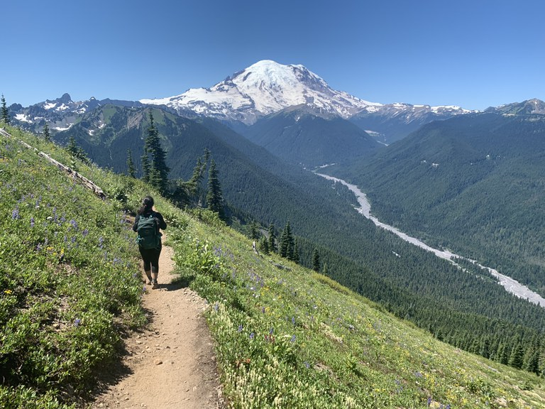Hiker surrounded by wildflowers on either side hikes on trail, with Mount Rainier in the distant background.