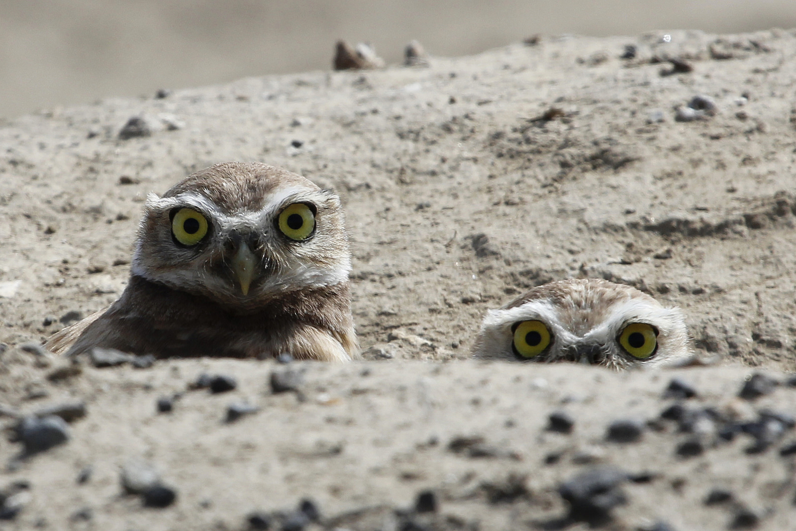 Owls by Larry Baxter
