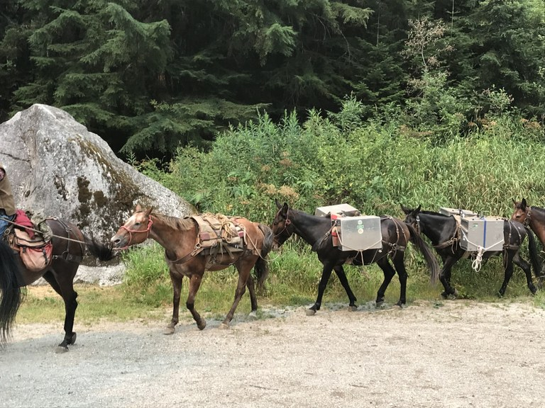 A train of pack horses brings gear to camp. Photo by Jill Simmons.