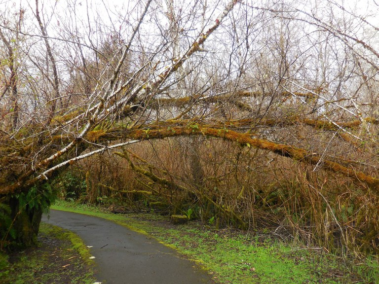 Alders arching over the paved trail at Friends Landing put you up close and personal with nature. Photo by Anna Roth.