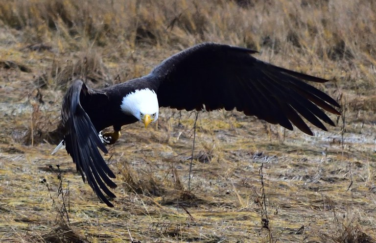 A bald eagle flying low to the ground.