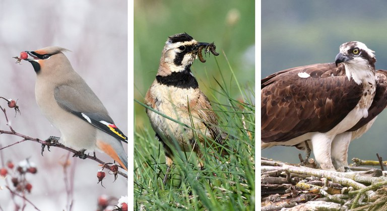 Three birds, one with a berry in its mouth, one with a worm in its mouth and one protecting its nest.