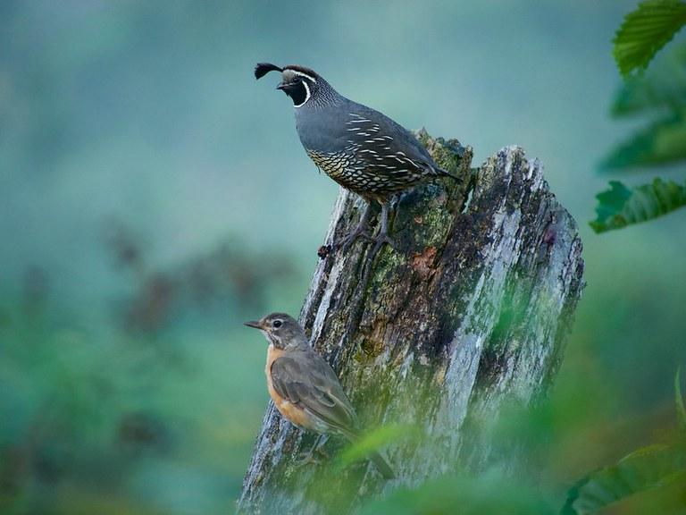 California Quail and Robin. Phogo by Jan Pinamonti.