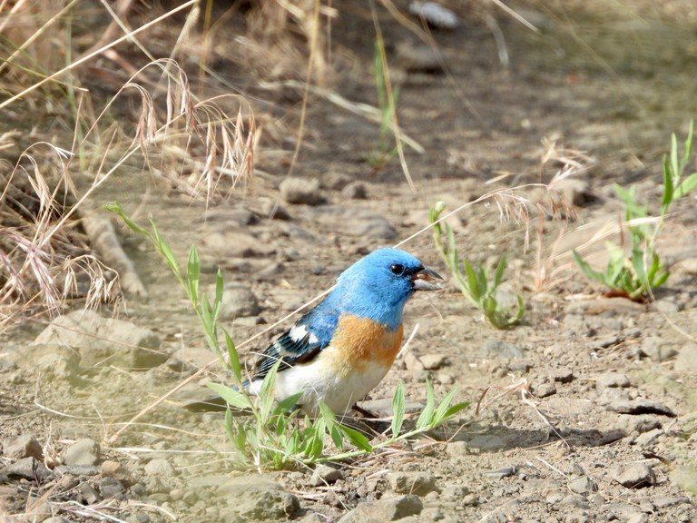 A small blue bird standing on the ground.