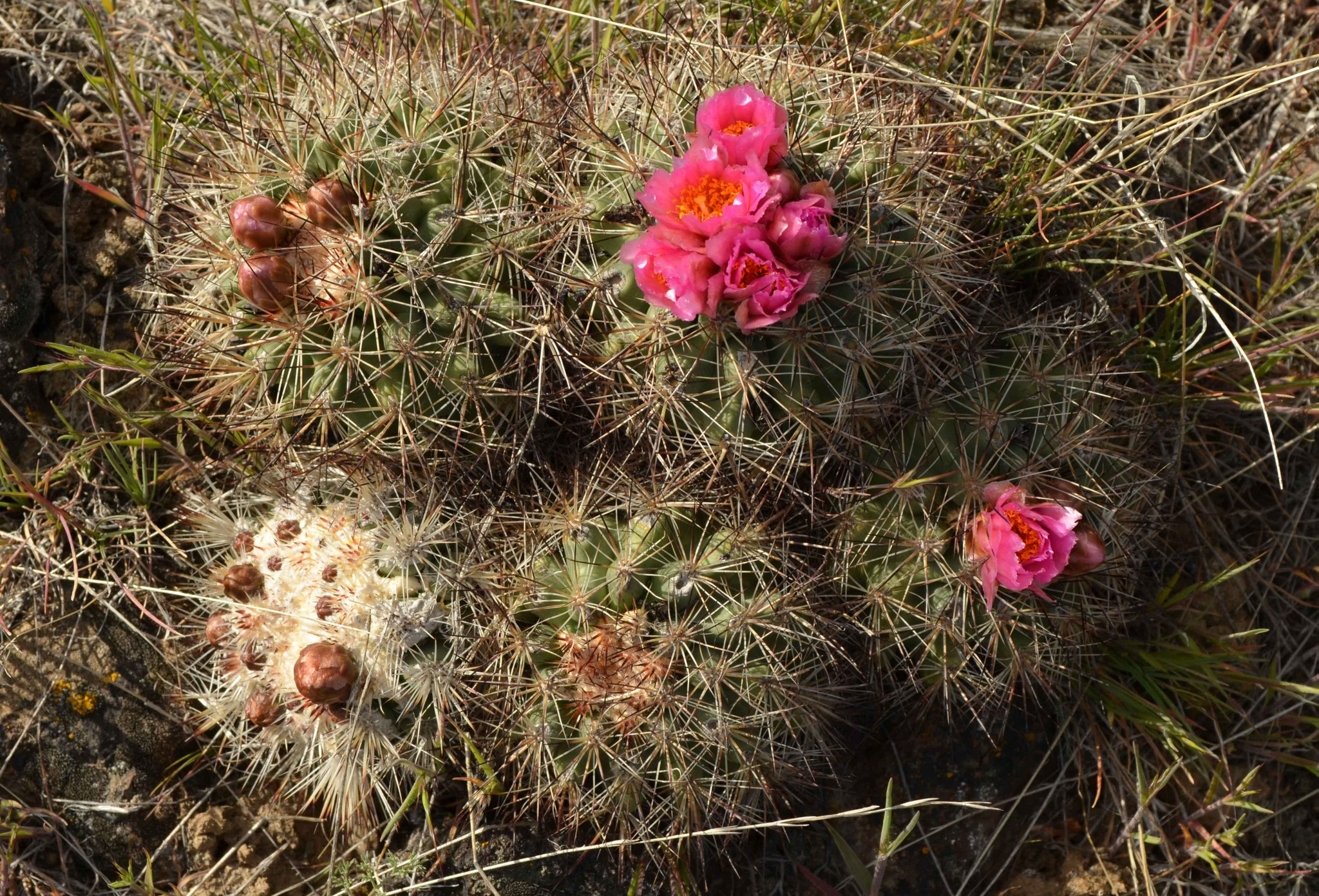 Cacti blooming on Selah Butte. Photo by Natasha'n'Boris.jpeg