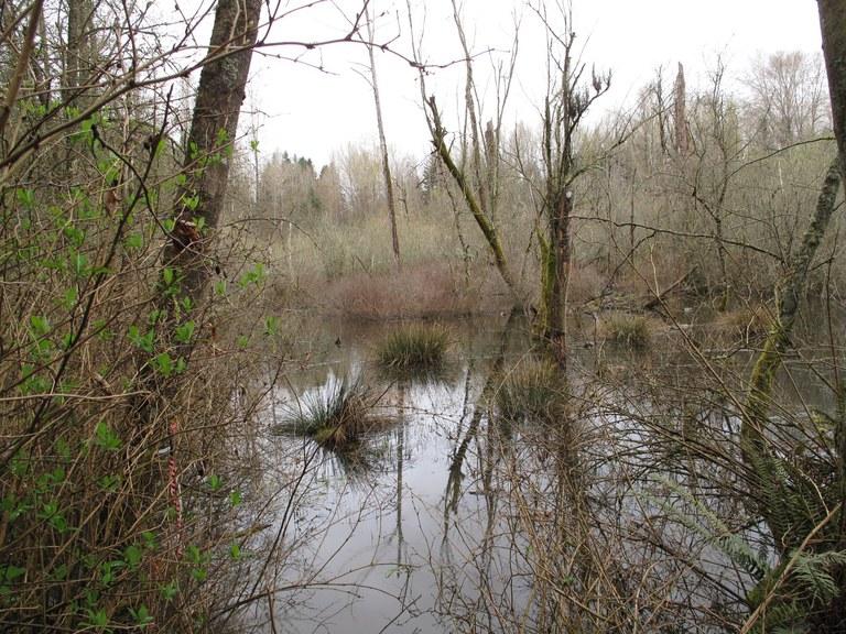 Wetland at Big Finn Hill Park. Photo by wafflesnfalafel.