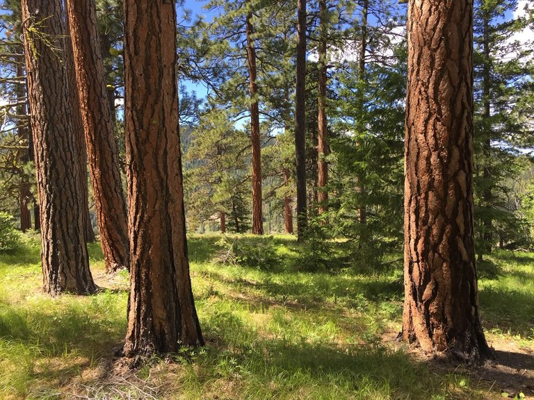 Ponderosa pine tree forest.