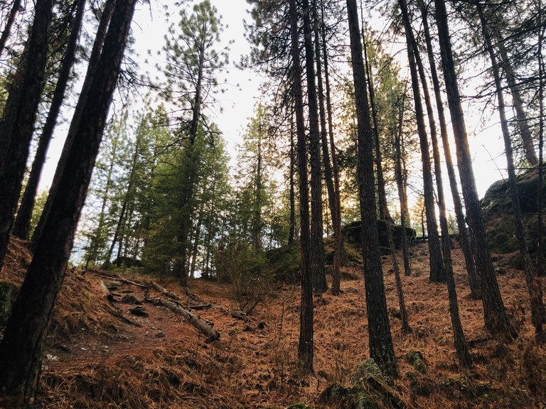 A forest of ponderosa pine trees. Photo by TrailKat