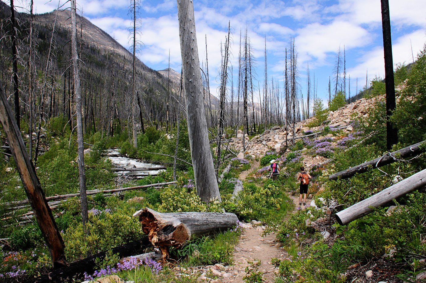 Burnt out trees loom above lush new growth and wildflowers.