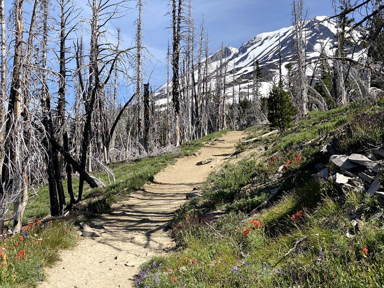 A hiking trail goes through a burned forest with views to the glacier-covered Mount Adams. Photo by Erinn C.