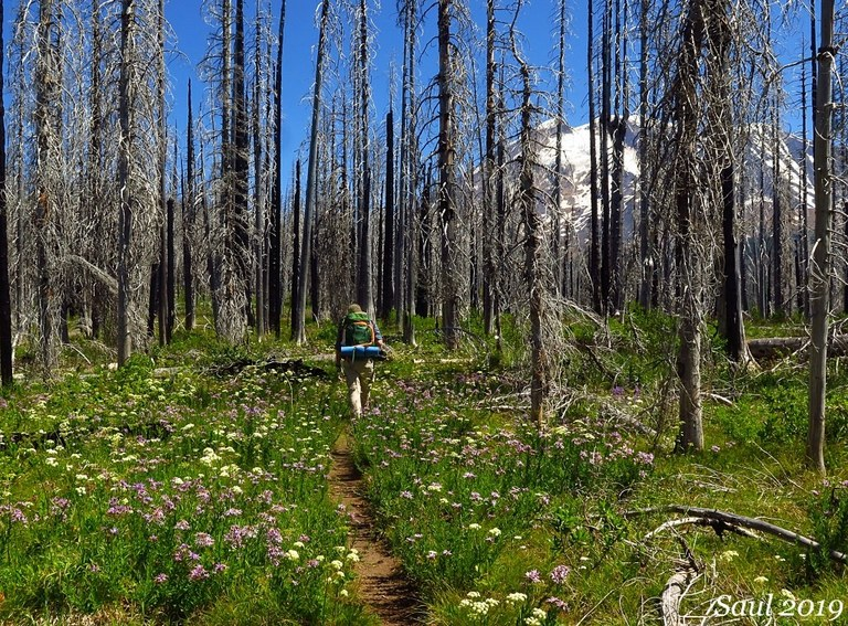 A backpacker walks through a burned forest that sits at the base of snow-covered Mount Adams. Photo by Susan Saul.
