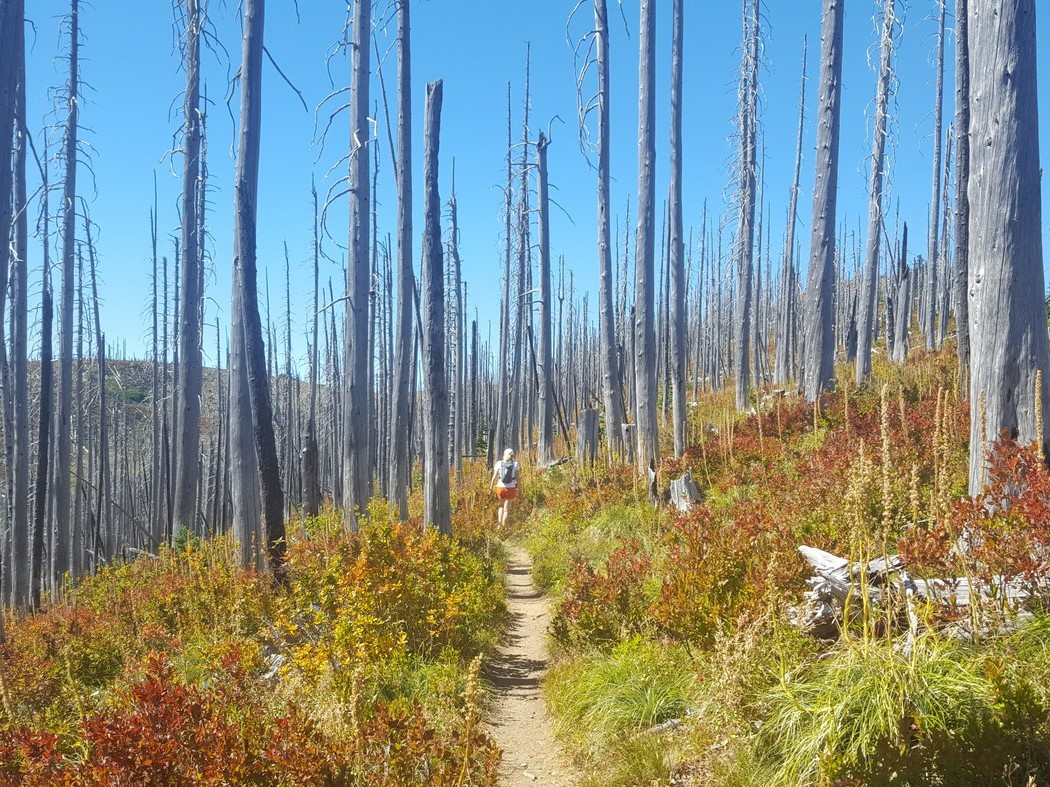 A hiker travels through an old burn zone. Colorful underbrush and stands of dead trees surround them.