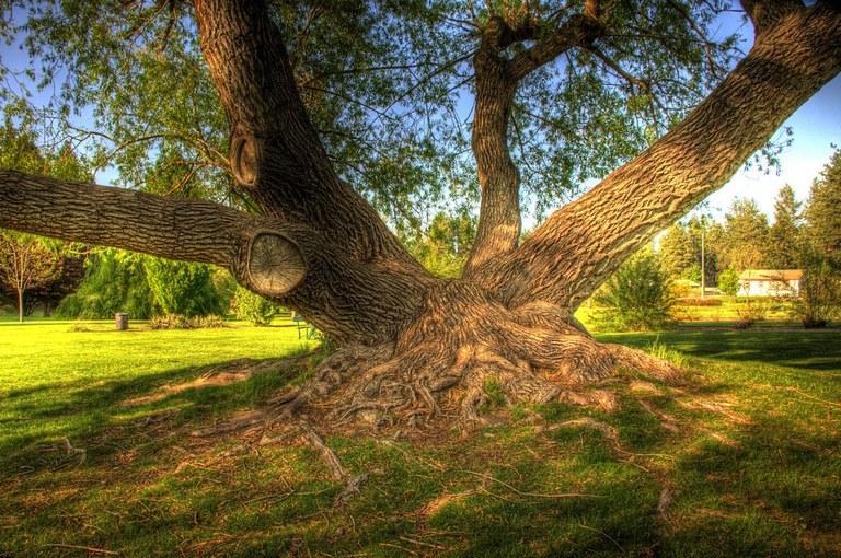 A big tree in Finch Arboretum. Photo by James Hawley.