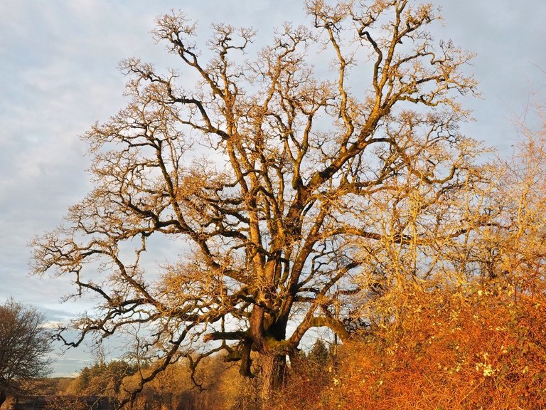 A old gnarled oak tree with no leaves glows orange in the sunset.