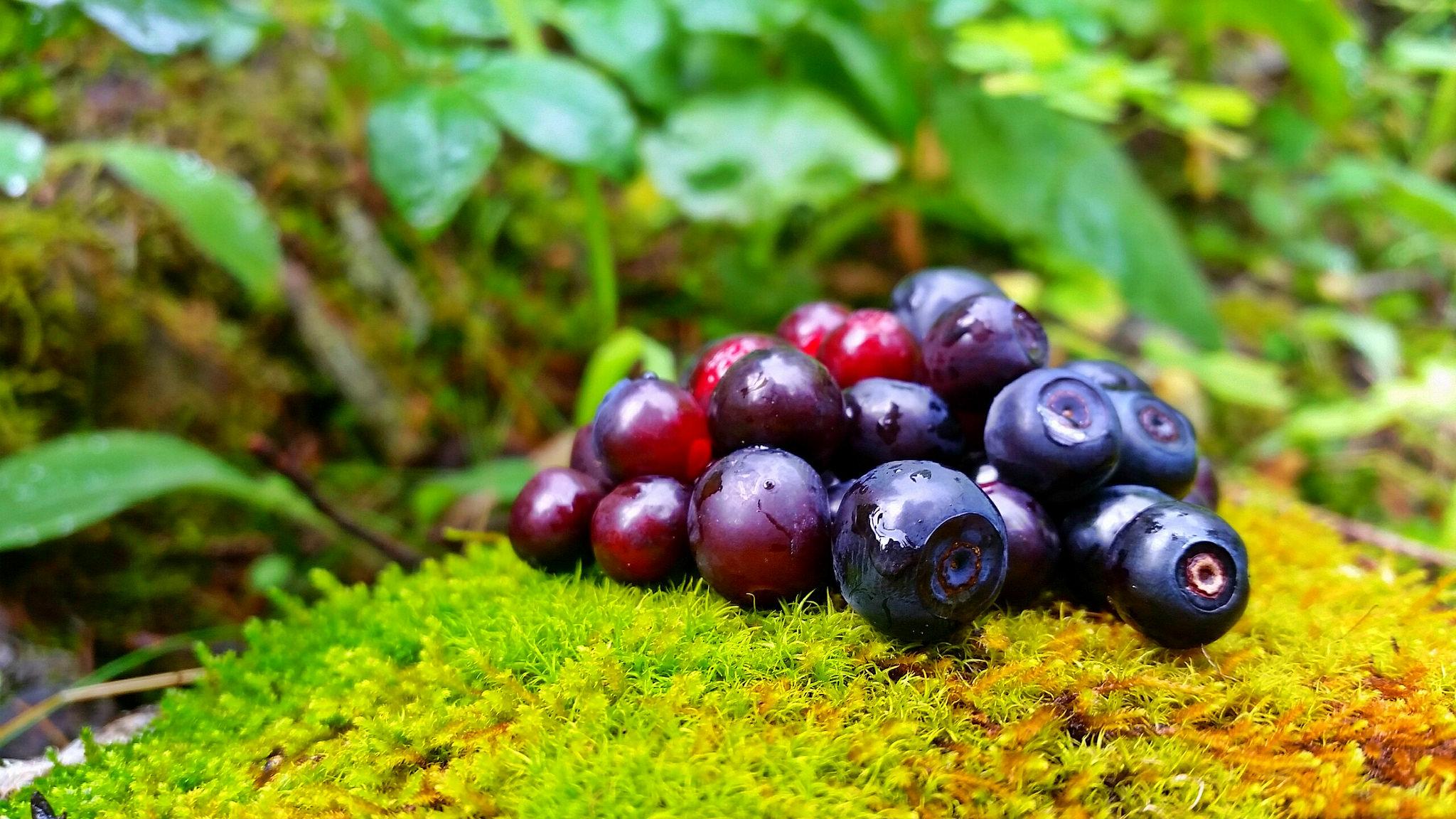 Huckleberries by Kayla Haas.jpg