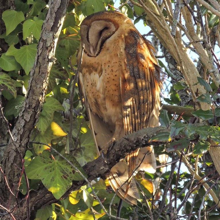 barn owl Dennis Graver.jpg