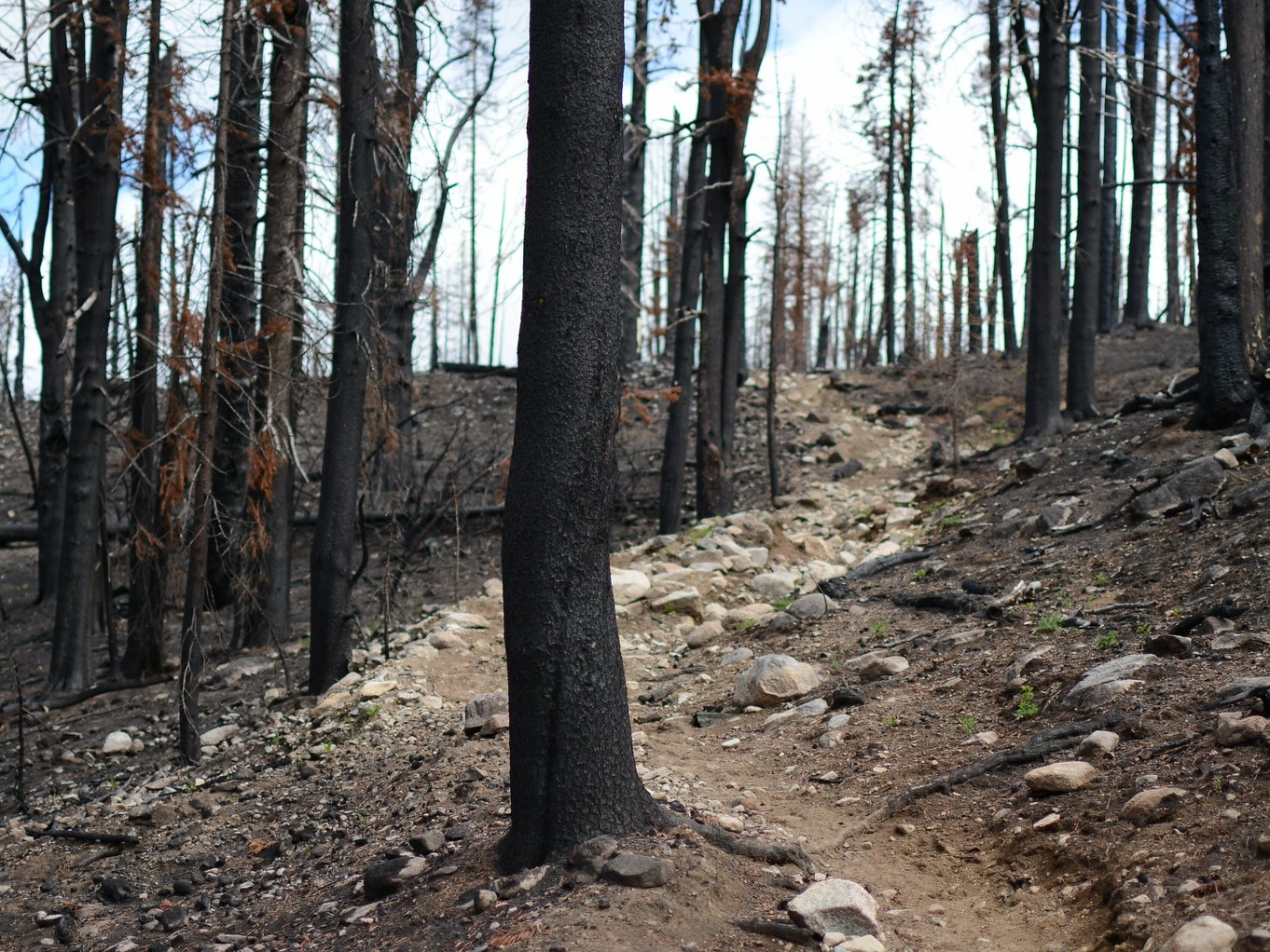 A rocky trail winds through a recently burned forest.