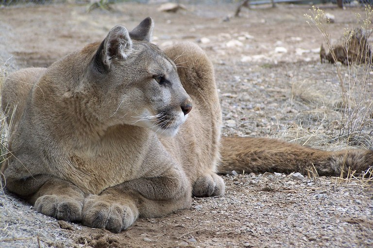Cougar by April McQuerry.jpg