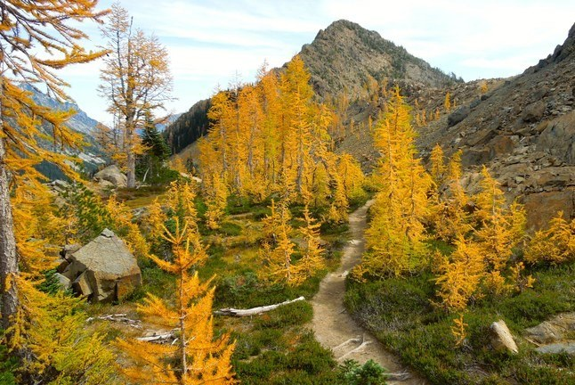 Larches. Photo by Betsy Beritaux..jpeg