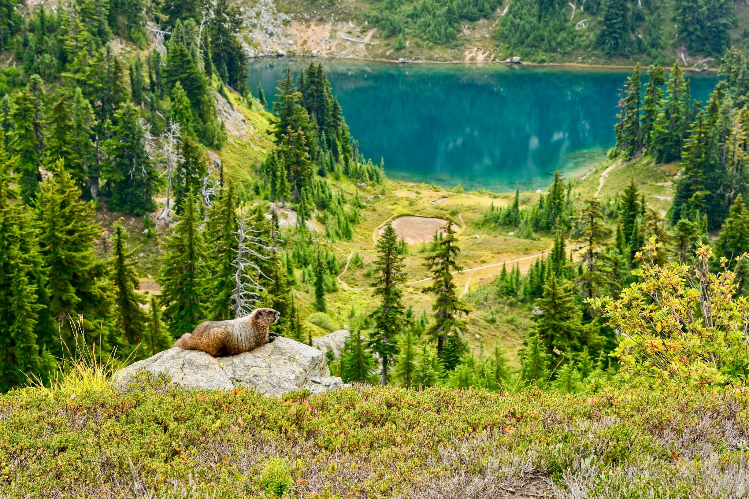 Marmot at Peggy's Pond. Photo by Doug Diekema.