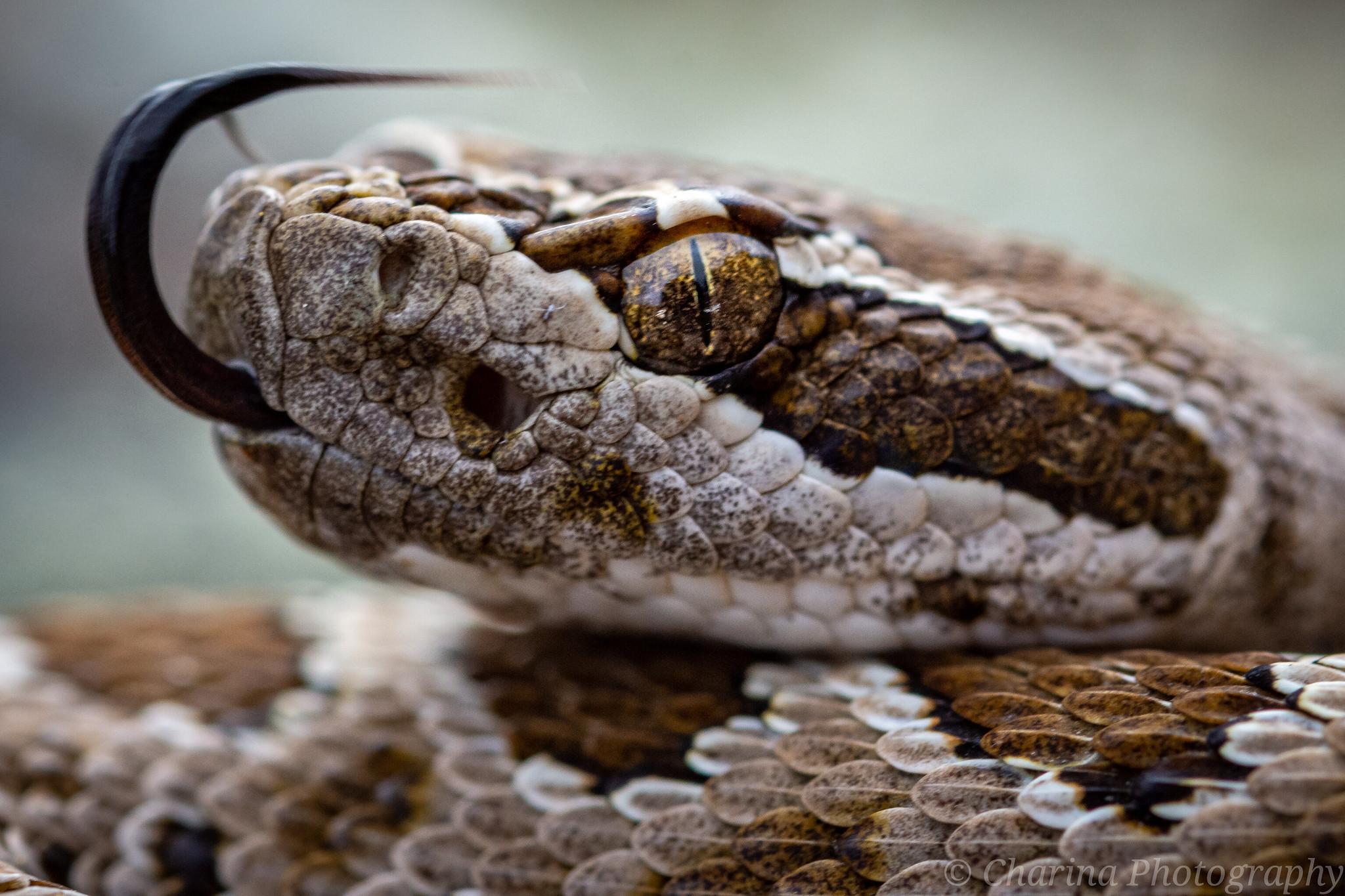 snake joshua wallace.jpg