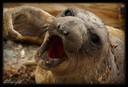 Young molting elephant seal
