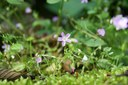 Butterwort Spring Blooms on the Coastal Forest Loop