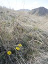 Sagebrush buttercup at Jacobson Preserve