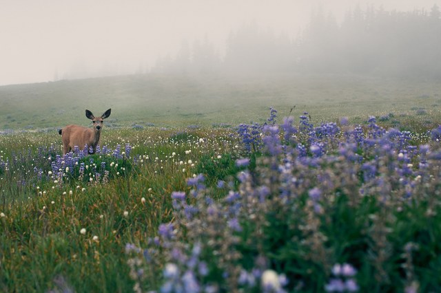 A deer in a field of lupin at Heart O the Hills, Olympic National Park. Photo by Tim Dolen (Northwest Exposure Photo Contest 2014)