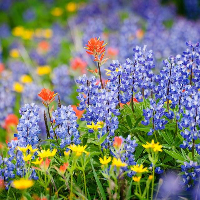 Heliotrope Ridge Wildflowers by Edmund Lowe