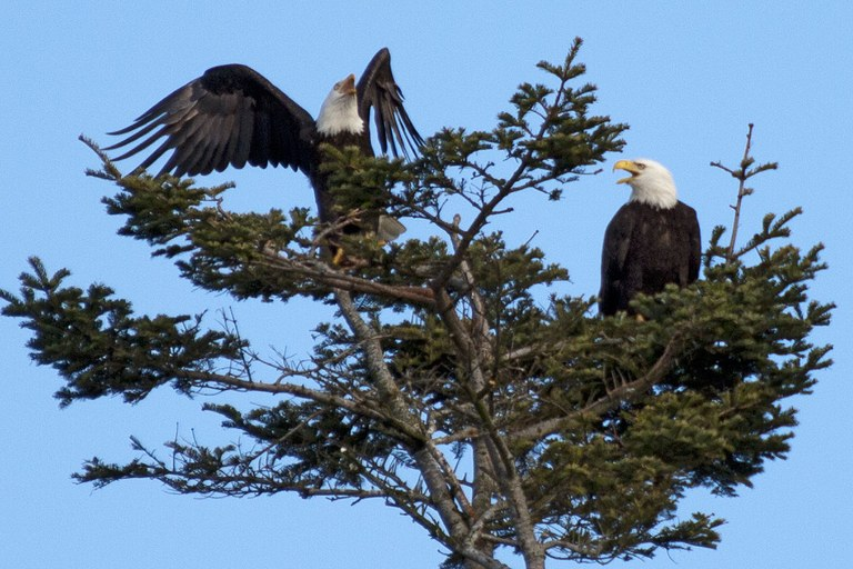 Eagles. Photo by Mark Fenn.