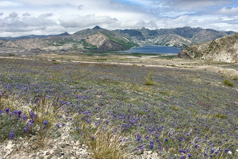 A carpet of lupines all the way to a lake far below.