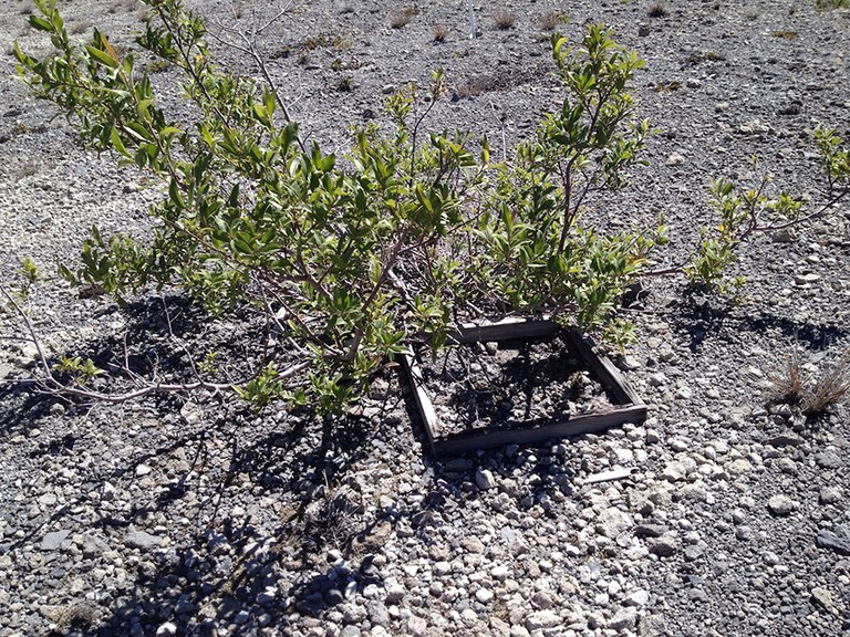 A shrub growing out of an old wooden vegetation plot.
