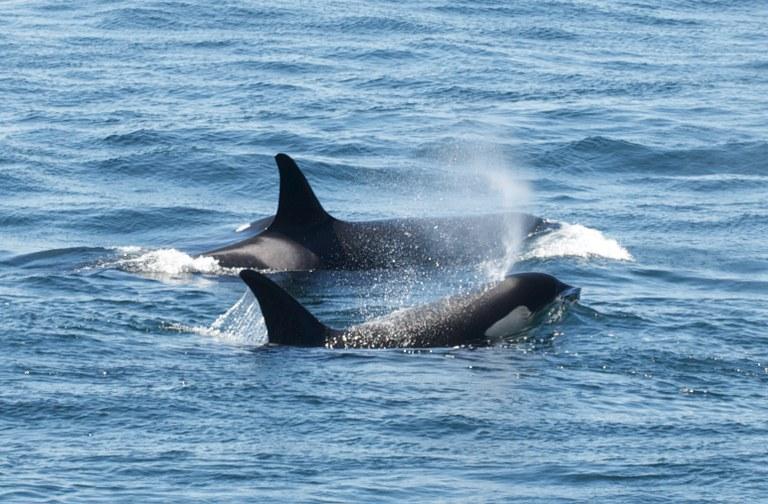 orcas_micheleHoffmanTrotter.jpg