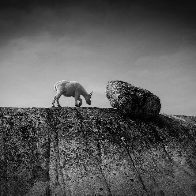 Goat vs Rock - Kristin Elwell NWX 2013 Winner