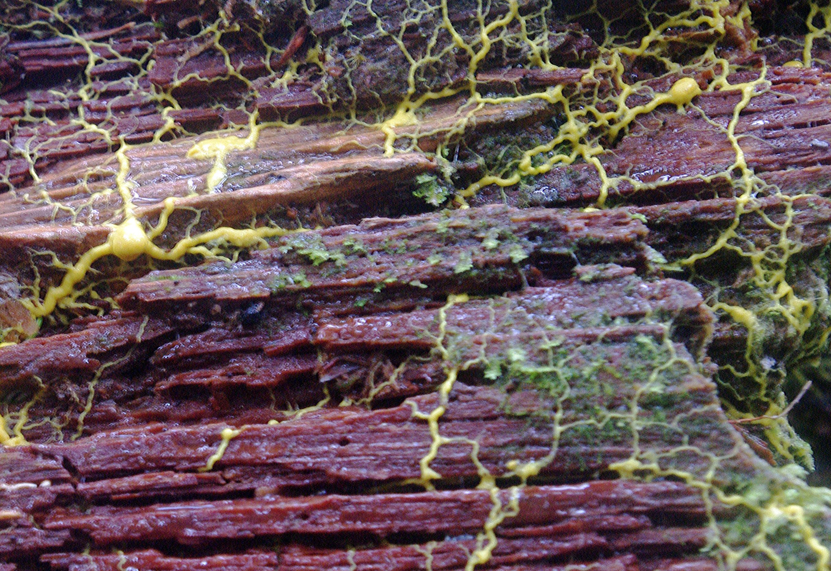 5 slime mold seeking more food_Kim Brown.jpg