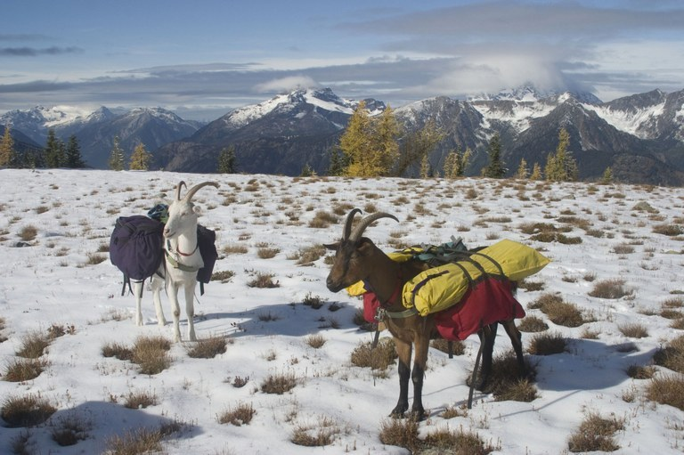 These pack goats can make a hiker up to $60 an hour on a good day. Photo courtesy Perry Burkhart.