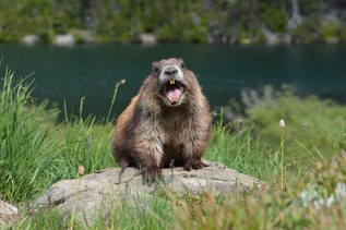 WTA Interviews Miles, Everyone's Favorite Marmot