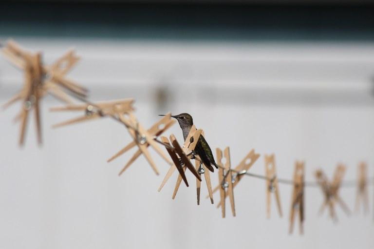 Anna hummingbird by Jamie Pearson