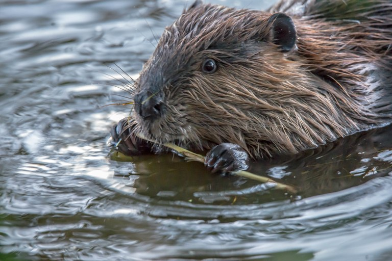 A beaver sits in the water while using their front feed to hold a stick and chew on it.