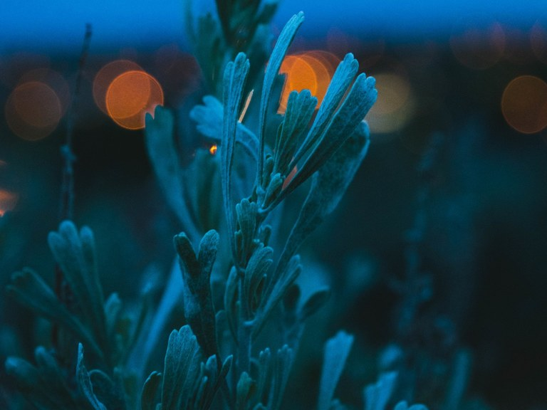 Big Sagebrush. Photo by Shelby Koch..jpg