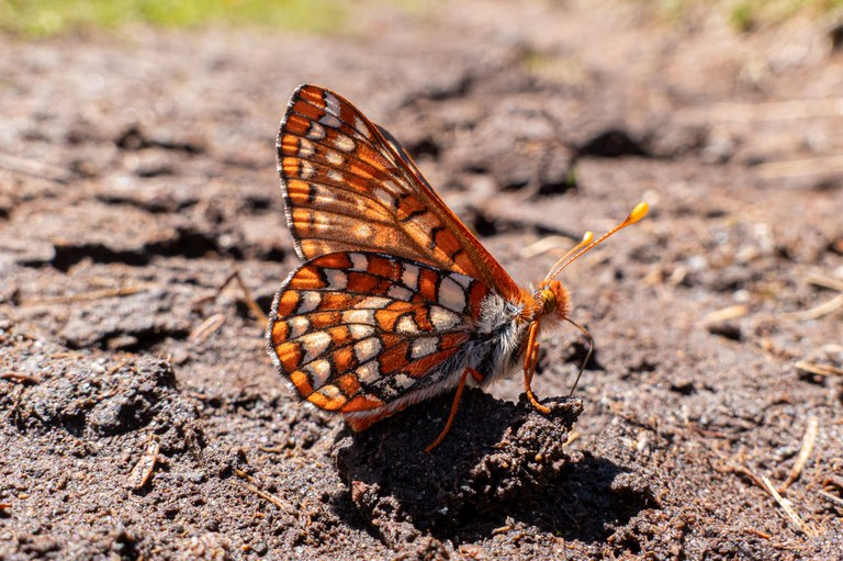 Close up photo of a colorful orange and brown butterfly on the ground.