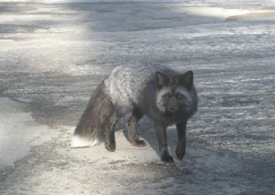 Cascade red fox with silvery-black fur and white-tipped tail. Photo by M. Reid