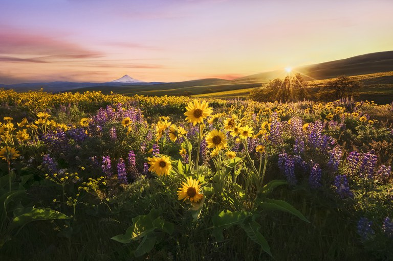 Sunset falling onto the magnificent yellow and purple wildflower display at Columbia Hills State Park.