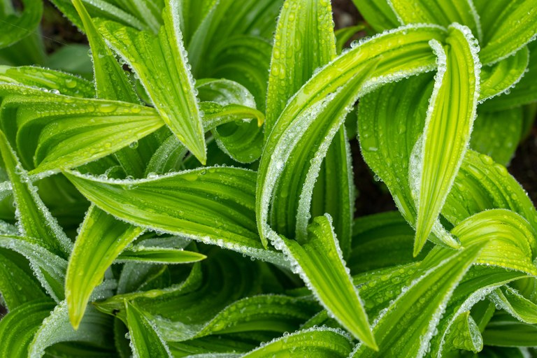 Bright green leaves with water droplets.