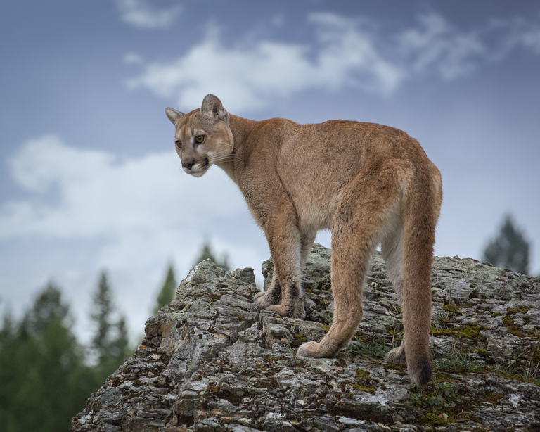 Cougar atop a rock.