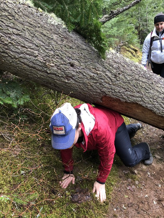 A hiker crouches to get under a fallen tree while a fellow hiker watches.