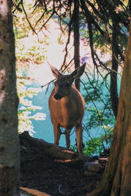 Deer. Photo by cynhw.jpeg