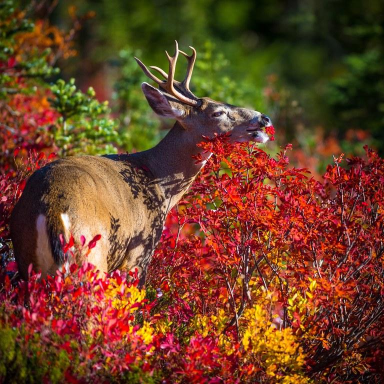 deer skyline Josh Zamor.jpg