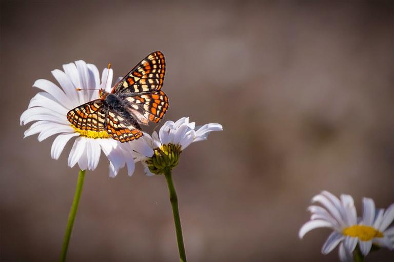 Edith's Checkerspot butterfly on a wildflower. Photo by Adam Halvorsen.